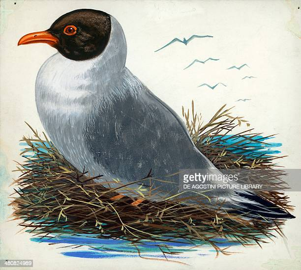 Blackheaded Gull illustration