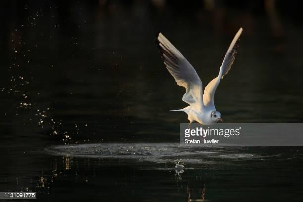 Black-headed gull (Larus ridibundus) in departure over water, evening light, Zugersee, Canton Zug, Switzerland
