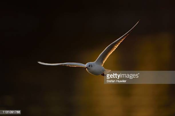 Black-headed gull (Larus ridibundus) in flight, evening light, Lake Zug, Canton Zug, Switzerland