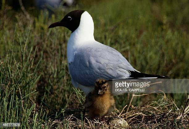Blackheaded gull in the nest with a cick Laridae