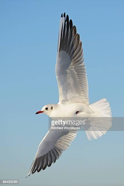 Black-headed gull in winter plumage