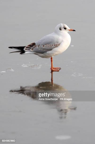 A blackheaded gull is reflected in the frozen lake at Fairburn Ings nature reserve Castleford West Yorkshire