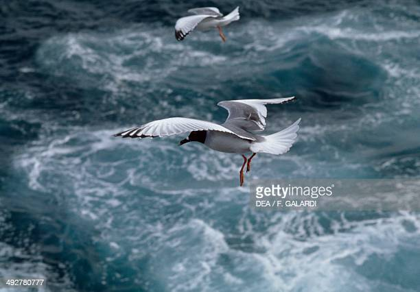 Blackheaded gull Laridae Galapagos Islands Ecuador
