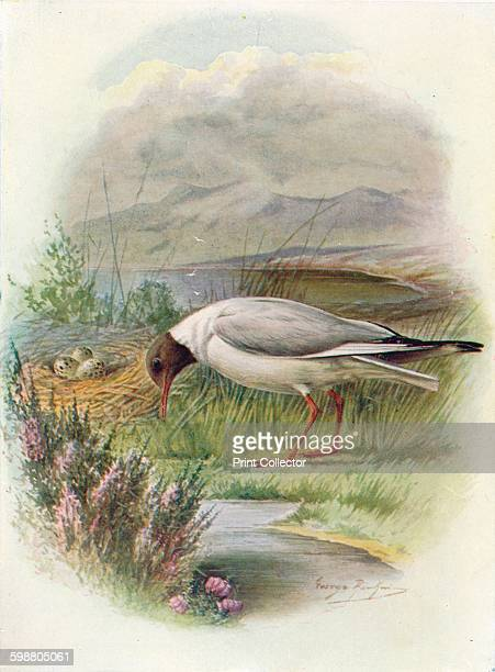 BlackHeaded Gull Larus ridibundus circa 1910 From Britains Birds and Their Nests by A Landsborough Thomson [The Waverley Book Company Limited W R...