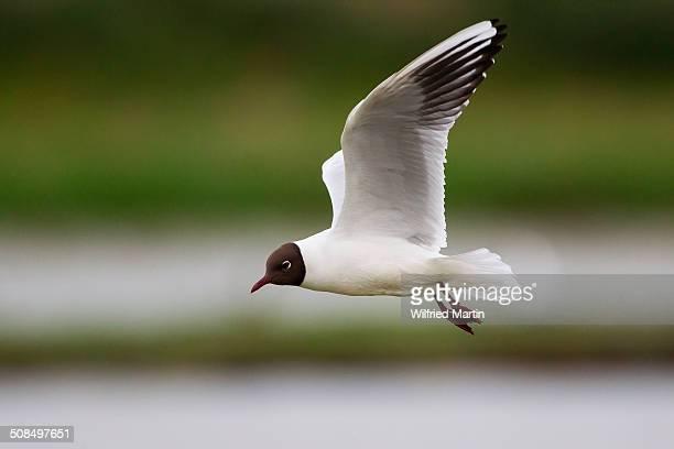 Black-headed Gull -Larus ridibundus- in flight, Texel, province of North Holland, Holland, The Netherlands