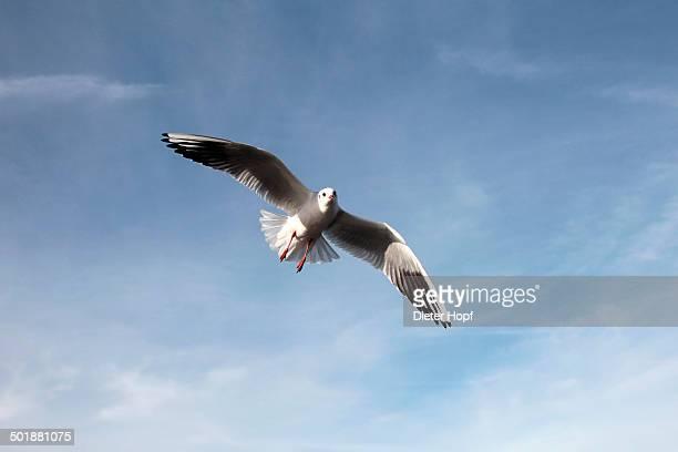 Black-headed gull -Larus ridibundus-, in non-breeding plumage, in flight, Bavaria, Germany, Europe