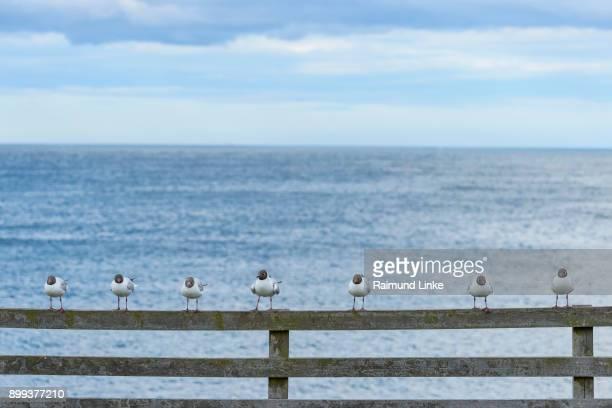 Black-Headed Gull, Larus ridibundus, Sitting on Railing, Europe