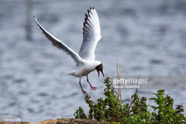 black-headed gull, marais d'harchies nature reserve - hainaut stock pictures, royalty-free photos & images