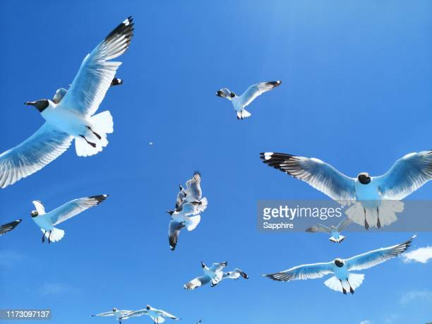 black-headed gull of bangong lake, tibet, china - zeevogel stockfoto's en -beelden