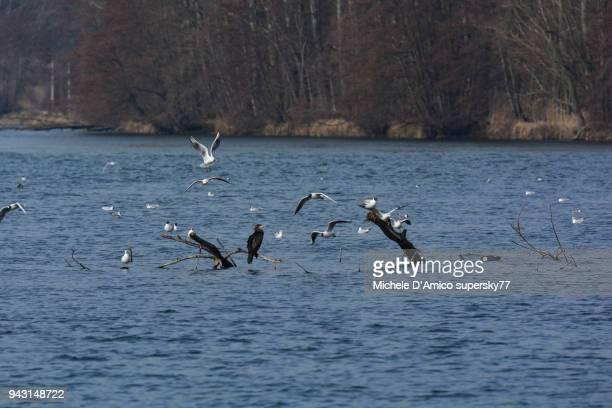 Black-headed Gull (Larus ridibundus) on dead trunks