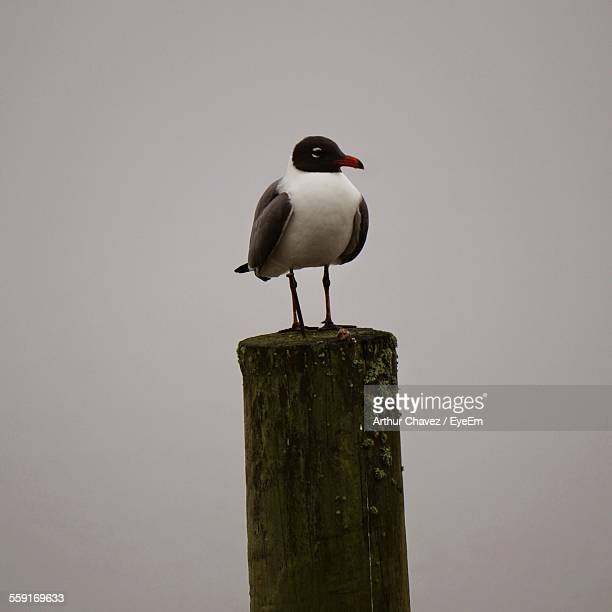 Black-Headed Gull Perching On Wooden Post Against Clear Sky