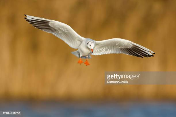 black-headed gull - water bird stock pictures, royalty-free photos & images