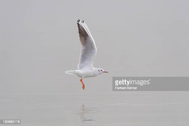black-headed gull (larus ridibundus) - vista lateral stock pictures, royalty-free photos & images