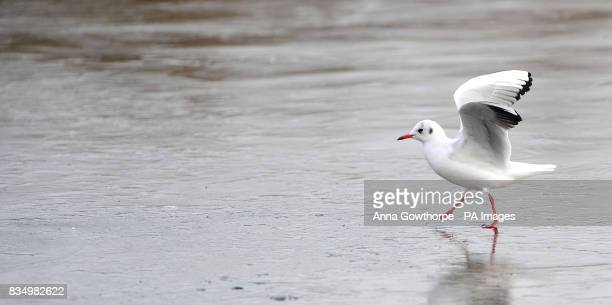 A blackheaded gull walks across the ice on the frozen lake at Fairburn Ings nature reserve Castleford West Yorkshire