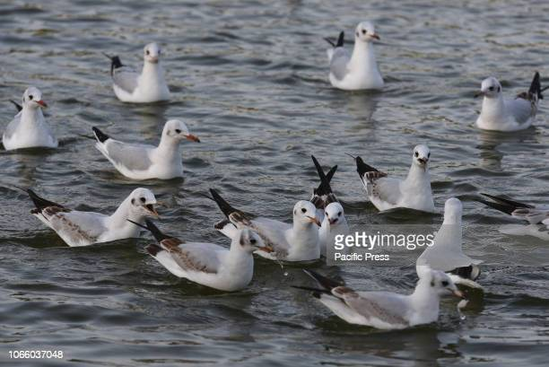 Blackheaded gulls are seen on the lake of Pradolongo park in Madrid where thousands of them spend the winter months from November to February