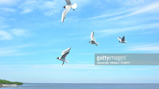 Black-Headed Gulls Flying Over Sea Against Sky