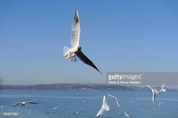 Black-headed Gulls (Larus ridibundus) flying