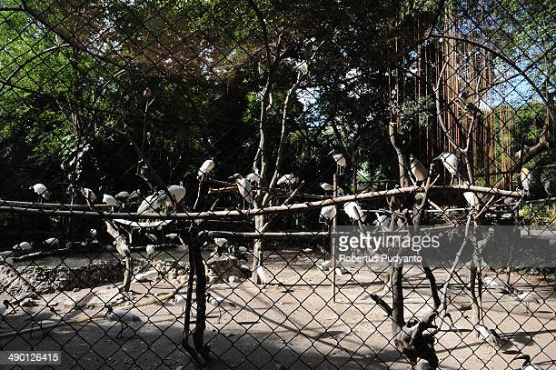 Blackheaded ibis and Nankeennight heron numbers exceeds the capacity of a housing at Surabaya Zoo on May 13 2014 in Surabaya Indonesia South East...