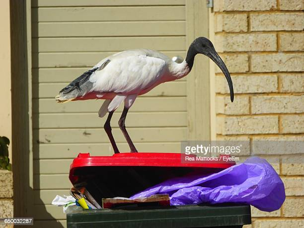 Black-Headed Ibis Perching On Garbage Can Against Brick Wall