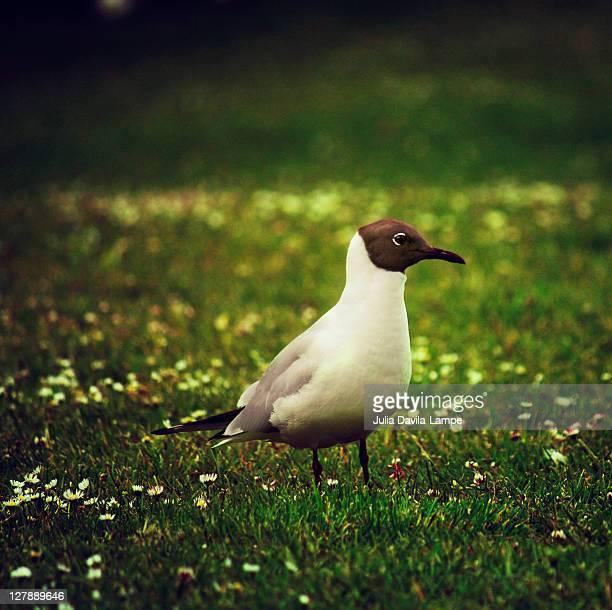 Black-headed Seagull
