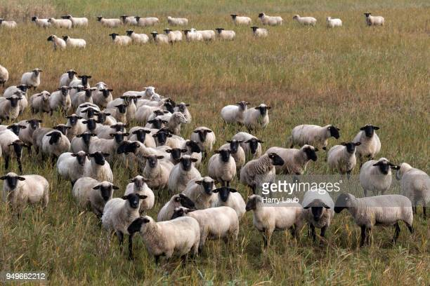 black-headed sheep (ovis), flock of sheep on salt meadow, fischland-darss-zingst, western pomerania lagoon area national park, mecklenburg-western pomerania, germany - harry herd stock pictures, royalty-free photos & images