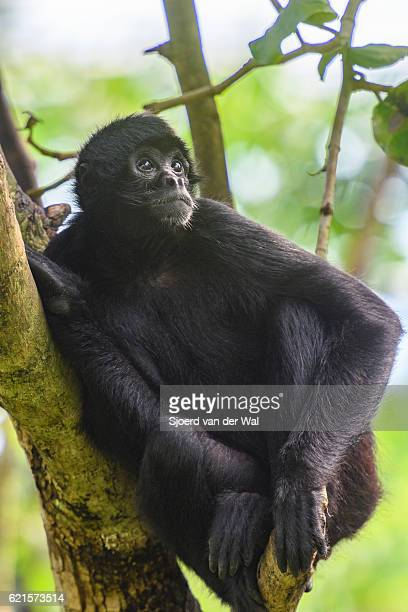 "black-headed spider monkey sitting in a tree. - ""sjoerd van der wal"" imagens e fotografias de stock"