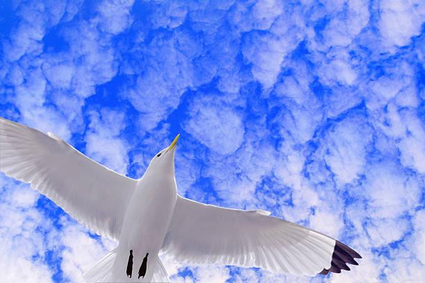 Black-legged Kittiwake Sea Gull In Flight (digital Composite) Wall Art