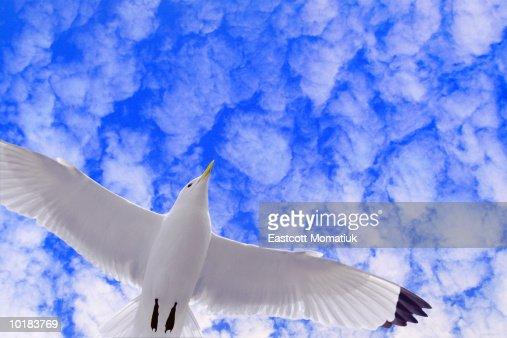 Black-legged kittiwake sea gull in flight (digital composite)