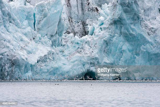 Blacklegged Kittiwakes feeding in the melt water in front of the Samarinbreen a glacier in Hornsund in Svalbard Norway