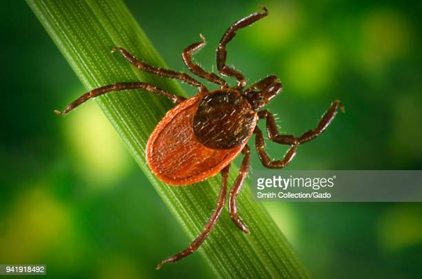Blacklegged tick on a leaf, carrier of the Lyme disease, 2005. Image courtesy Centers for Disease Control / James Gathany, William L. Nicholson.