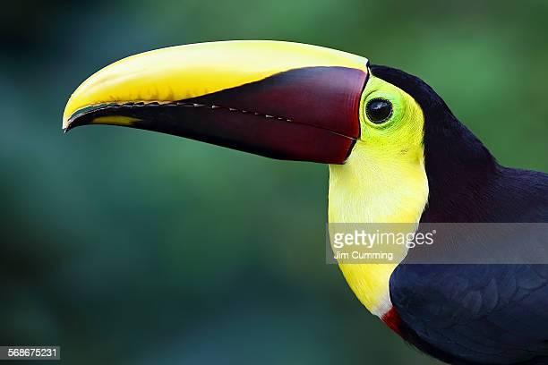 black-mandibled toucan closeup - black mandibled toucan stock photos and pictures