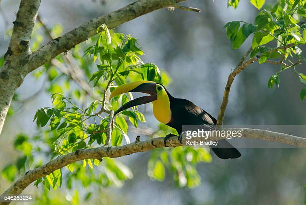 black-mandibled toucan on a branch - black mandibled toucan stock photos and pictures