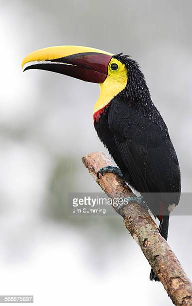 black-mandibled toucan on branch - black mandibled toucan stock photos and pictures