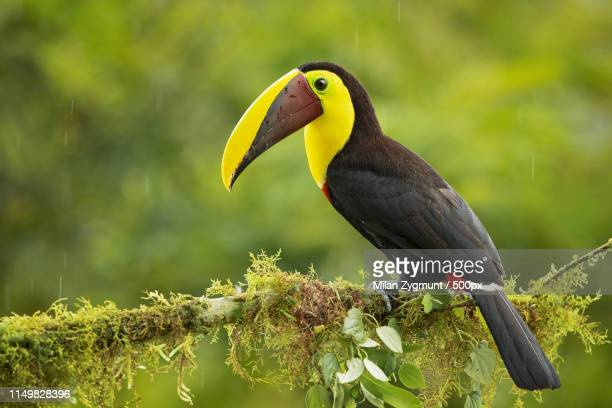black-mandibled toucan - black mandibled toucan stock photos and pictures
