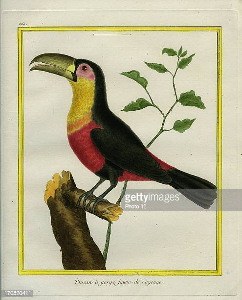 Blackmandibled Toucan Ramphastos ambiguusBlackmandibled ToucanGeorgesLouis Leclerc Comte of Buffon Natural History of birds fish insects and reptiles...