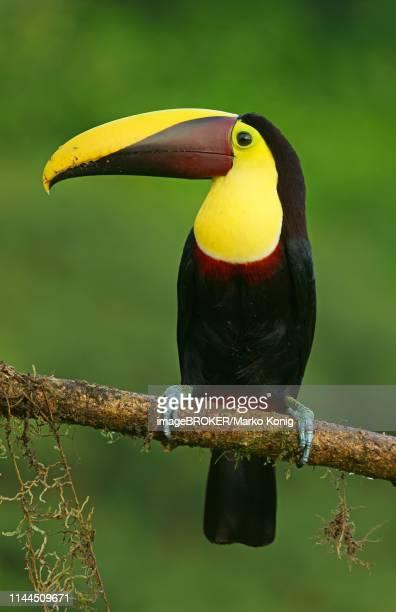 black-mandibled toucan (ramphastos ambiguus) sits on branch, costa rica - black mandibled toucan stock photos and pictures