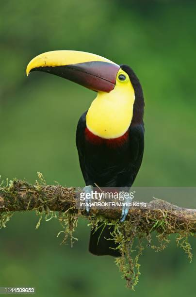 black-mandibled toucan (ramphastos ambiguus) sits on mossy branch, costa rica - black mandibled toucan stock photos and pictures