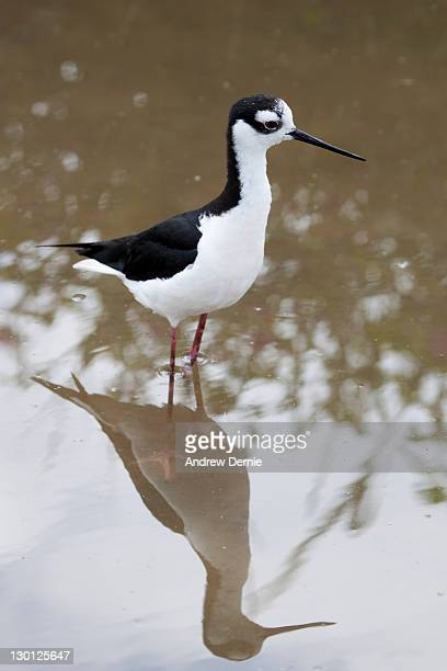 Black-necke stilt (Himantopus mexicnus)