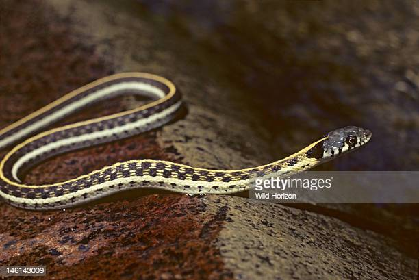 Blacknecked garter snake pauses on a rock in a mountain stream Thamnophis cyrtopsis Found in Cave Creek Canyon a riparian habitat Chiricahua...