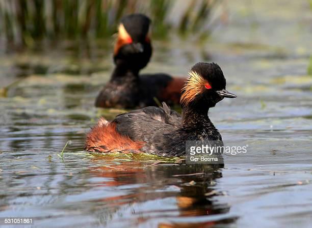Black-necked Grebe Couple