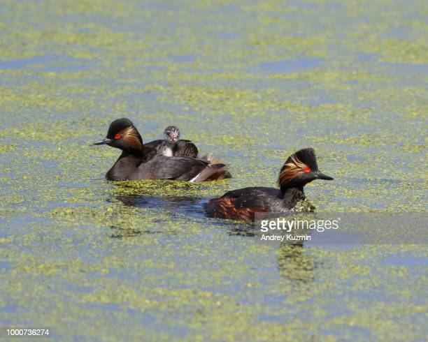 Black-necked grebe family