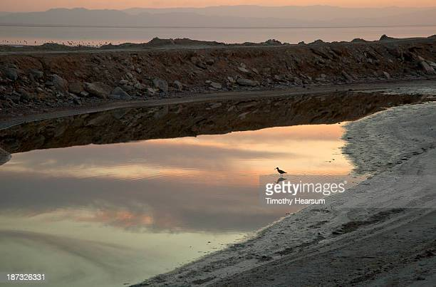 black-necked stilt, cloud reflections at sunset - timothy hearsum stock photos and pictures