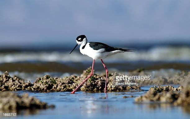 A blacknecked stilt forages in the waters of the Salton Sea National Wildlife Refuge December 18 2002 near Calipatria California Earlier this month...