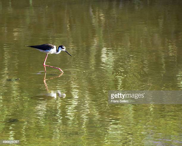 black-necked stilt on curacao. - frans sellies stock pictures, royalty-free photos & images