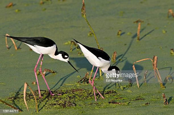 black-necked stilt (himantopus mexicanus) wakadahatchee wetlands, delray beach, florida, usa - delray beach stock photos and pictures