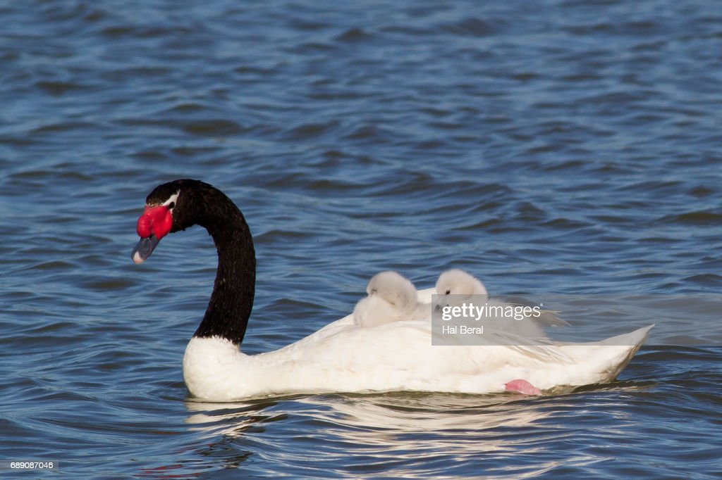 Black-Necked Swan with cygnets riding on it's back : Stock Photo