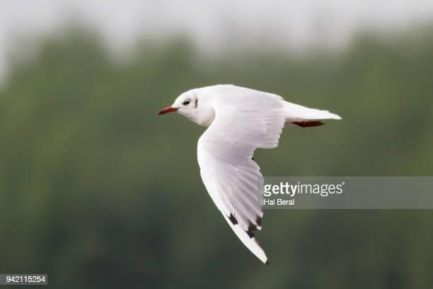 BlackpHeaded Gull flying