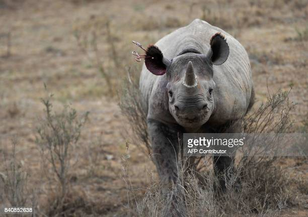 TOPSHOT A blackRhino calf walks with instruments still attached to her ear on August 30 2017 after she appeared to prematurely overcome the sedative...