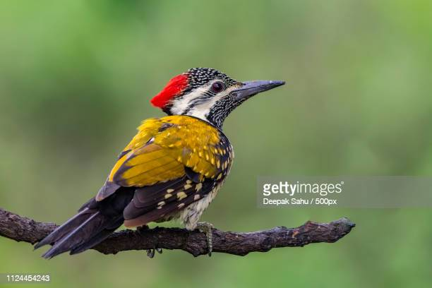 black-rumped flameback or lesser goldenback - {{asset.href}} stock pictures, royalty-free photos & images