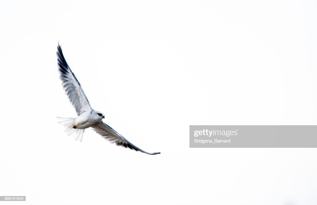 Black-shouldered kite in flight, South Africa : Stock-Foto